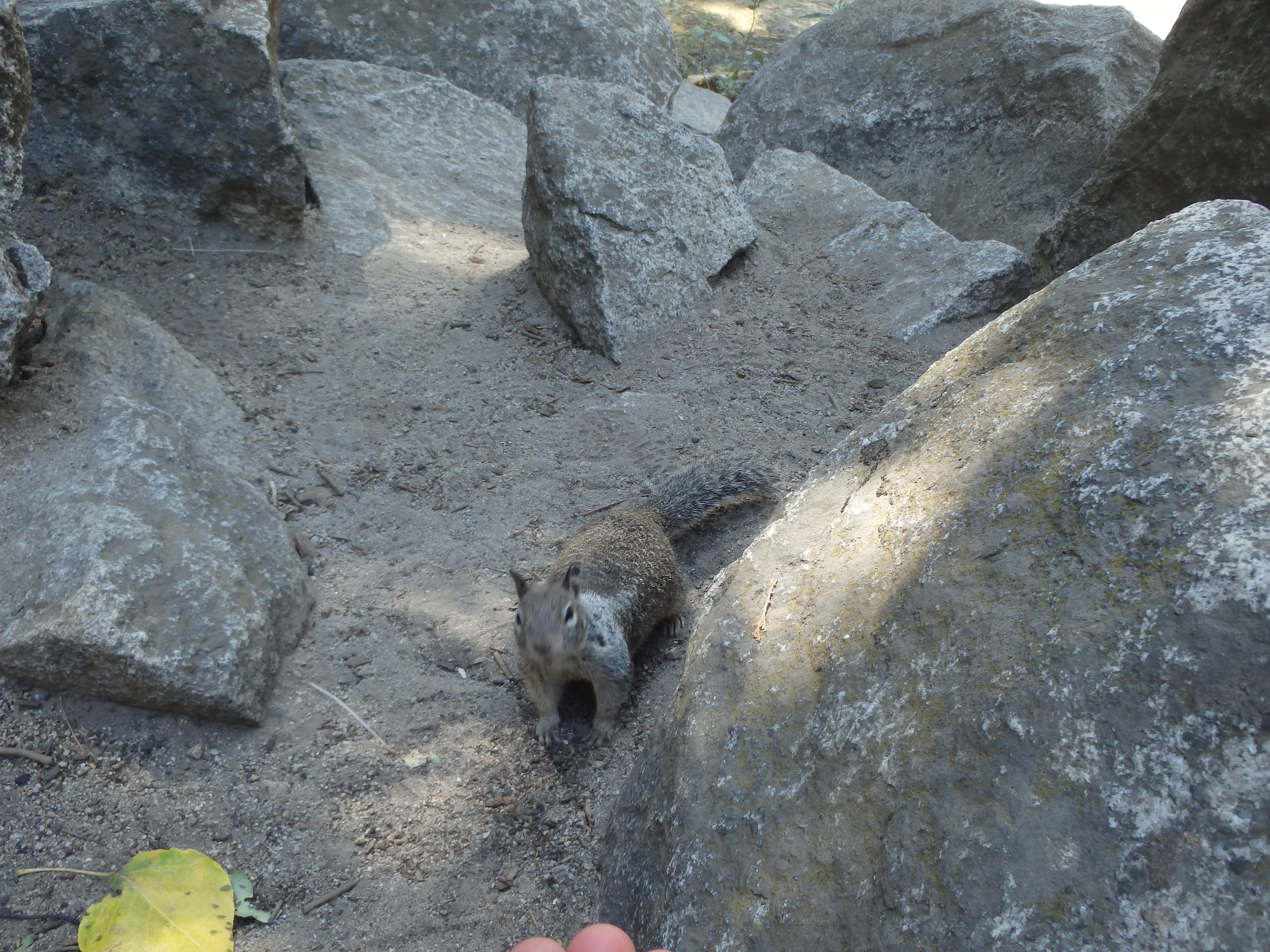 esquilo Yosemite Park